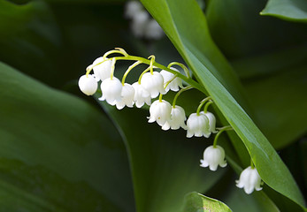 Blossoming lily of the valley in spring forest. Lily-of-the-valley. Convallaria majalis.Spring background. Floral background.Selective focus.