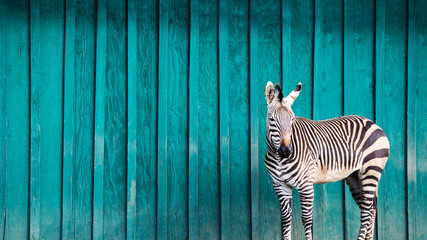 Poster Zebra Zebra in Front of a Teal Wall