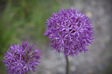 Blooming onion garlic flowers purple allium on green background