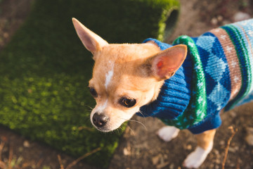 Face of Miniature Chihuahua in a Sweater