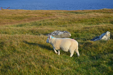 Adorable Sheep Walking Through a Field at Neist Point
