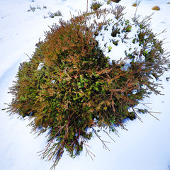 Mountain bush covered with snow.