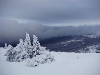 Fototapeta choinki w śniegu obraz