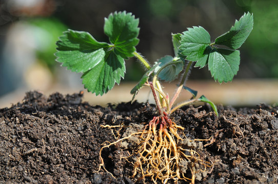 Strawberry seedlings with roots