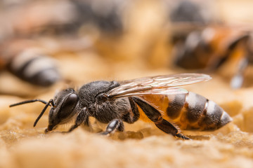 Close up picture of bee in beehive
