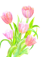 lovely bouquet of pink tulips for your design. watercolor painting