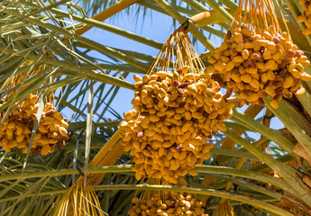 Date palms with ripening fruits