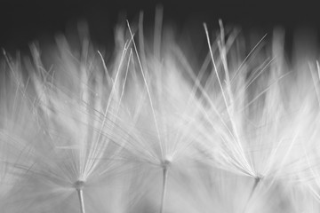 macro soft spring macro dandelion pistils as black and white abstract background highlighted