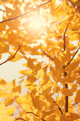 Sun shining through the branches of yellow and orange autumn leaves