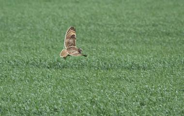 Short-eared owl (Asio flammeus) in flight adove the field, Kalmykia, Russia