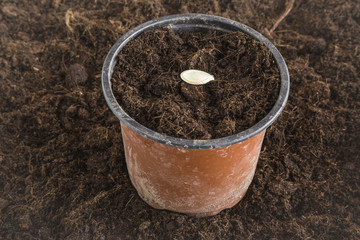 Courgette seed seedling in the ground in the pot. Early spring preparations for the garden season.
