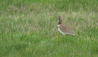 Little bustard (Tetrax tetrax) in the field, Kalmykia, Russia