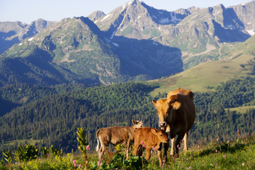 Cow with her calves grazing in alpine meadows in the Caucasus