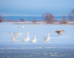 A flock of white geese and one gray goose and red dog on the snow