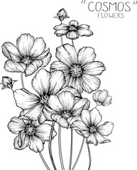drawing cosmos flowers clip-art or illustration.
