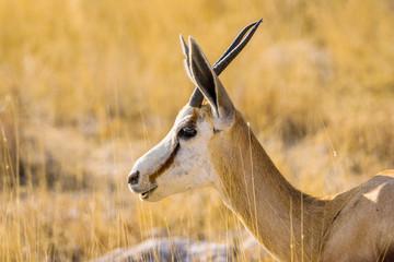 Springbok antelope (Antidorcas marsupialis) portrait.