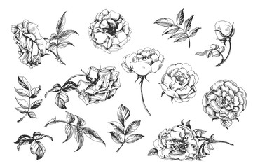 Flower set: highly detailed hand drawn roses. Vector.