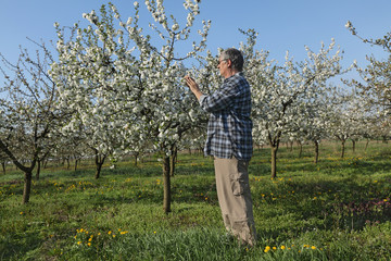 Farmer or agronomist examine blossoming cherry orchard in spring