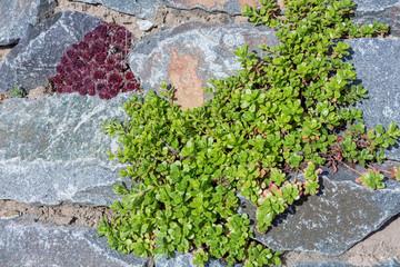 Pflanze Sukkulente Bodendecker im Garten