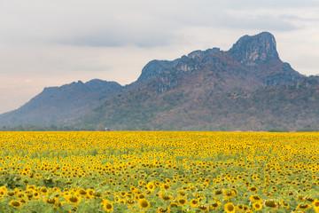 Sunflower flora field mountain background, natural landscape background