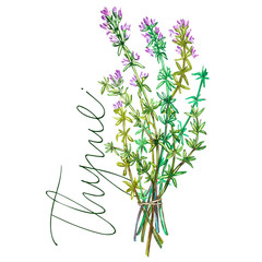 Botanical drawing of a thyme. Watercolor beautiful illustration of culinary herbs used for cooking and garnish. Isolated on white background