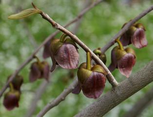 Indianerbanane Blütenstand