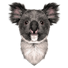 the head is symmetrical Koala looking right, sketch vector graphics color picture