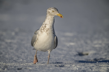 Herring gull, standing on the snow, close up