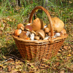 Wicker basket with mushrooms in forest