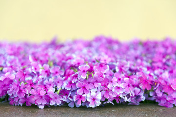 Pink phlox flowers beside street during blossom season