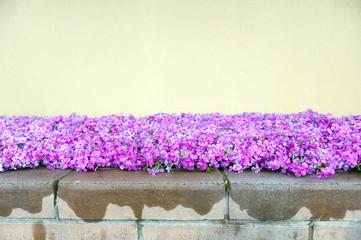 Pink phlox flowers beside street during blossom season