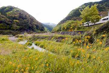 Wild yellow flowers by Uno River in Kameoka, Japan