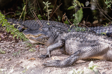 American Alligator Resting Near Road. Two alligators lying on the road in Everglades National Park, Florida