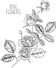 Rose flowers drawing illustration vector and clip-art.