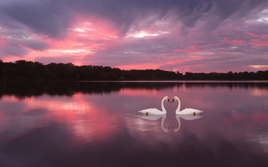 Swans are swimming in a lake under sunset