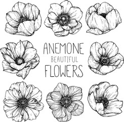 Anemone flowers drawing vector illustration and line art.