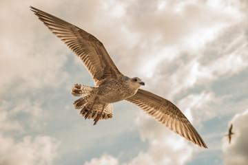 Sea gull Flaying In Cloudy Sky