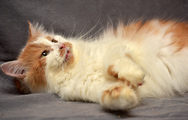 Red-haired and white fluffy cat on a gray background