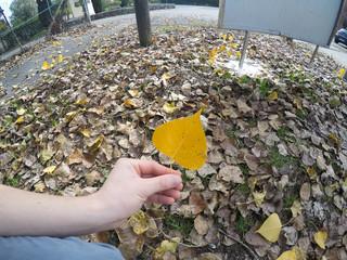 La foglia gialla