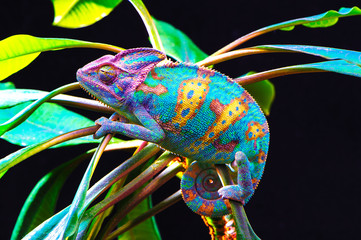 Deurstickers Kameleon Yemen chameleon isolated on black background