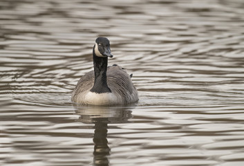 Canada Goose on a loch, close up