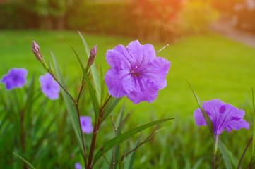 Beautiful purple flower on nature background.Purple rain flower.Ruellia tuberosa Blue-violet color and leaf