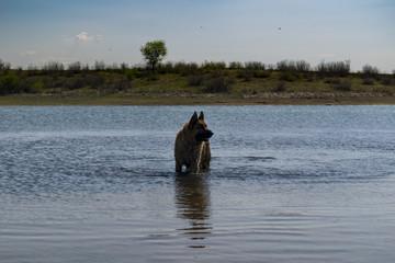 German shepherd dog playing in water