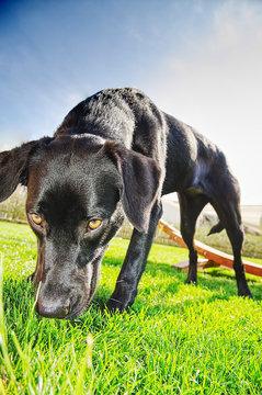 Aussiedor Labrador Australian Sheperd Hund schnuppert am Gras