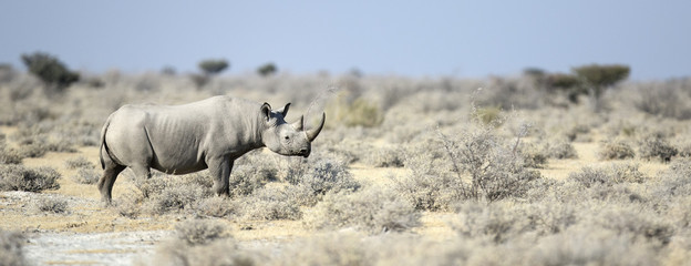 Black Rhino walking through the veldt