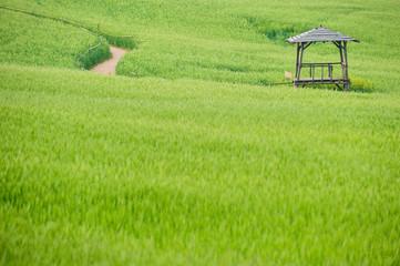 한국 전라북도고창 보리밭