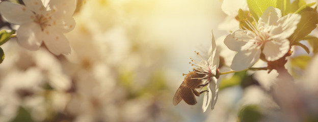 Beautiful nature background with blooming cherries and a bee. Spring flowers. Beautiful Orchard Abstract blurred background.