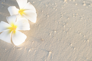 Two plumeria flowers on sunset sand beach