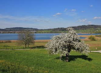 Chery blossom at lake Pfaffikon. Spring scene in Switzerland.