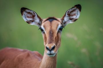 Female Impala starring at the camera.